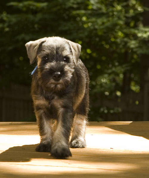 Standard schnauzer puppies for sale in hampshire